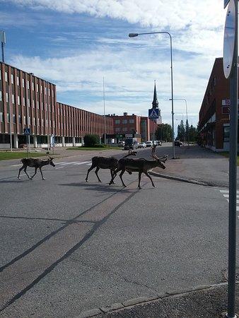 Kemijarvi, Finlandia: City reindeers coming visit Kemijärvi info