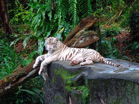 Singapore Zoo: Stunningly beautiful white tiger! :)