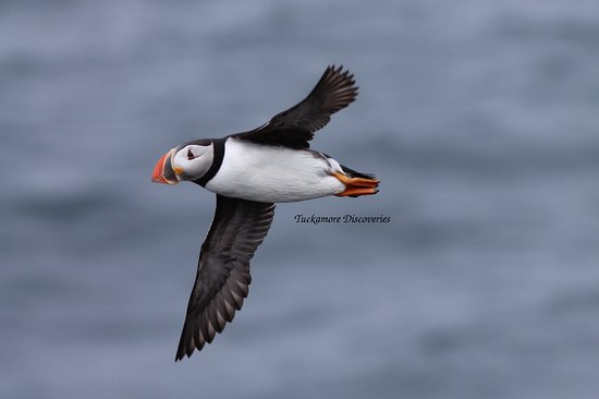 Bonavista, Canada: Puffin fly-by. August 2, 2016