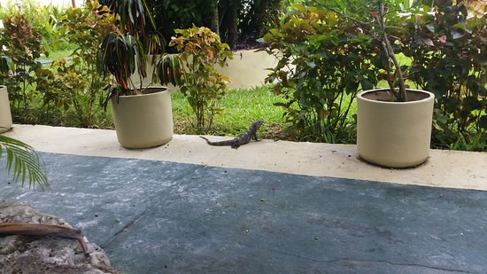 Villablanca Garden Beach Hotel: Some of the beautiful grounds with a little Iguana visitor.