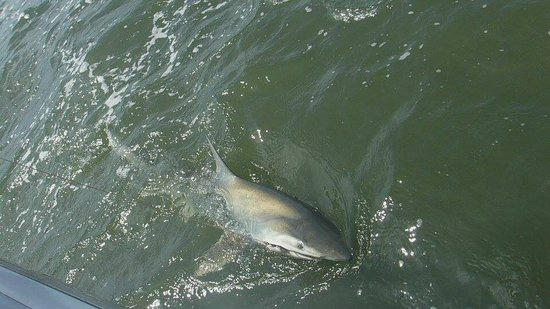 Tallboy Fishing Charters: Young Dusky shark reeled in by our 16 year old