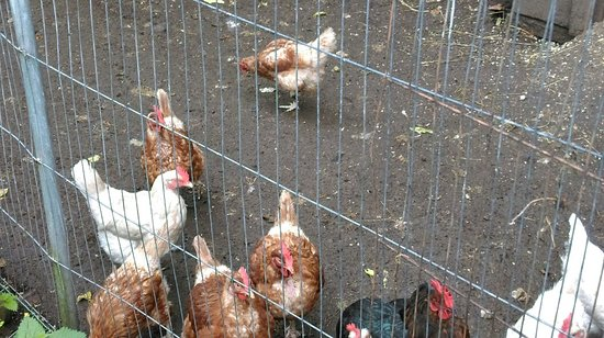 Gabriel House B&B: Hens & ducks