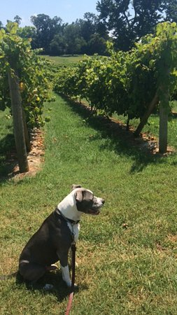 Concord, VA: Buster at DeVault Vineyard!!!