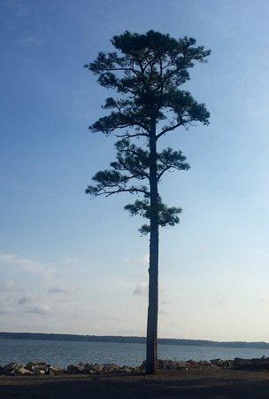 "Topping, เวอร์จิเนีย: Pine tree near ""beach"""