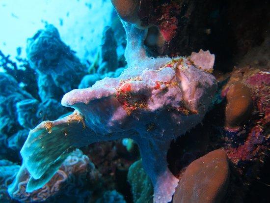 Turtle Bay Dive Resort: Poisson crapeau - Moalboal