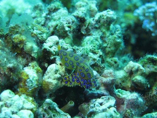 Turtle Bay Dive Resort: Blue ring Octopus - Moalboal