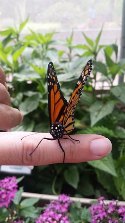 Alliance, OH: Beautiful monarch!