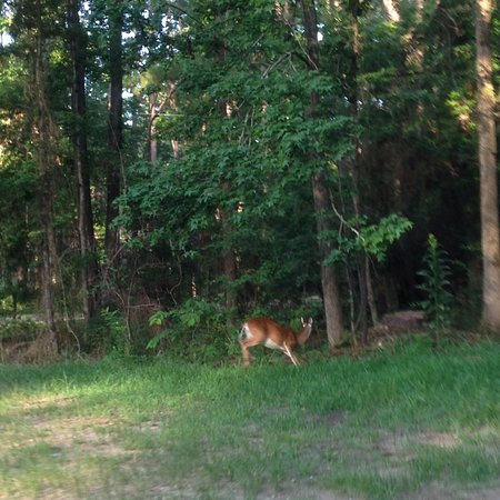 Broaddus, TX: Deer scampering in woods