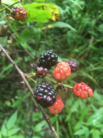 Laurelville, OH: Blackberry Patch on North Logan Trail (between H & I Trail Markers)