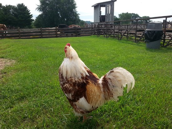 "Mauston, WI: The resident rooster...named ""chicken""!"