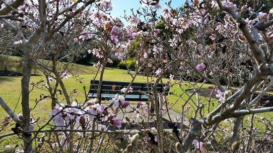 Beautiful magnolia blooms at  Picton Botanical  Gardens