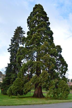 City Park: Magnificent Pine