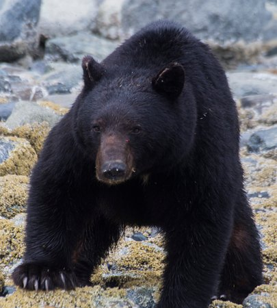 Gustavus, AK: Bears are frequently seen along the shoreline.