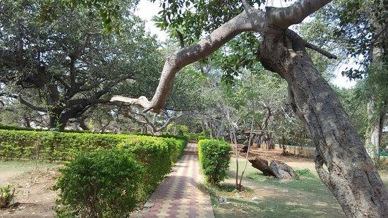 Mahbubnagar, อินเดีย: Oldest Tree