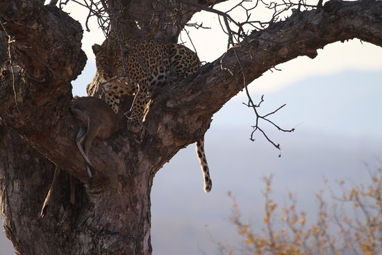 Tremisana Game Lodge: Leopard with a fresh kill