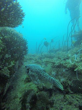 B&J Diving Centre: puffer fish!