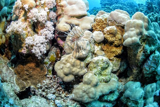 Shaab Abu Ramada/The Aquarium : Baby Red lionfish