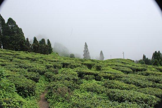 Sinclairs Darjeeling : Tea garden at Darjeeling