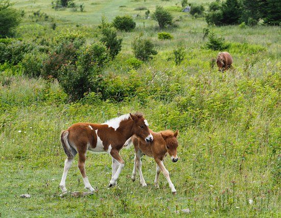 Grayson Highlands State Park: Worth the short walk up to see the wild ponies!