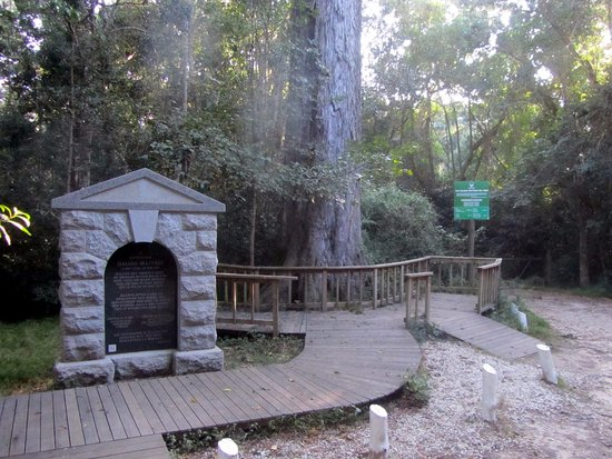 Dalene Matthee Memorial: The memorial and the big Outeniqua tree