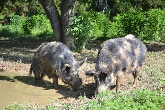 National Colonial Farm: Heritage breed Ossabaw Hogs