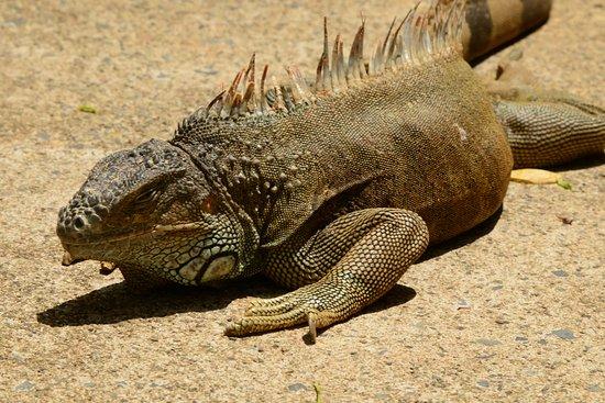 Arch's Iguana  and Marine Park : Iguana