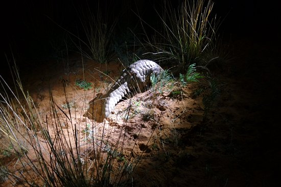 Tswalu Kalahari Game Reserve, Sudáfrica: Oh my gosh .... a pangolin!