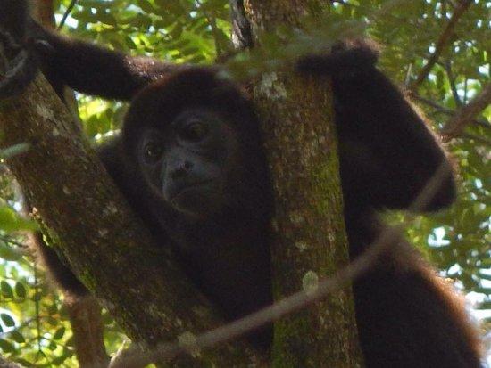 Nativa Resort : Howler Monkey