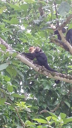 Casa Bambu Resort: Capuchin Mom and baby