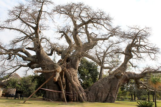 Ntwanano Tours & Travel: baobab tree
