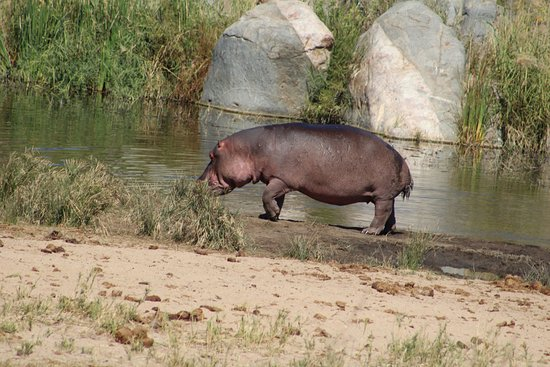 Ntwanano Tours & Travel: hippo