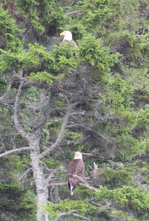 Downeast Charter Boat Tours: 2 adult Eagles