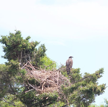 Downeast Charter Boat Tours: young eagle at the nest