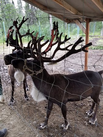 Denali Wilderness Safaris: Reindeer