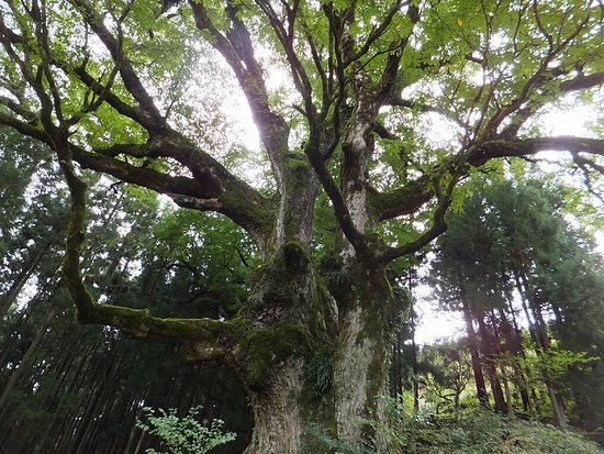 Japanese Horse Chestnut Tree of Kuwadaira