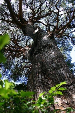 Tanyosho Pine of Okuono