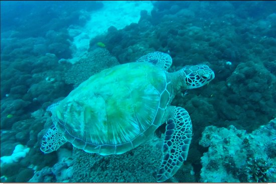 Ocean Dream Divers: turtle as promised by mike