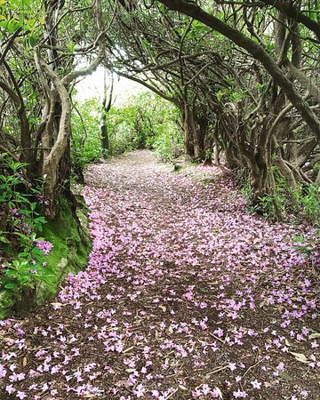 Sallyport House: Rhododendrons on a path in Reenagross Park, which is connected to The Sallyport.