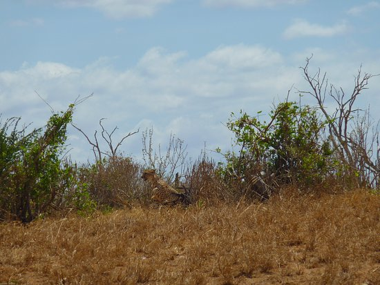 Kennedy Tours and Safaris - Day Tours: Cheetah in Tsavo East