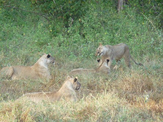 Kennedy Tours and Safaris - Day Tours: Lions in Tsavo West