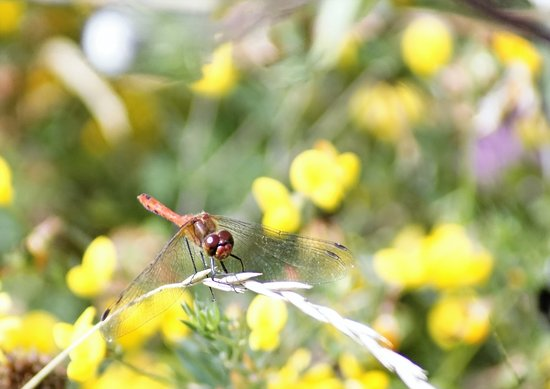 Oare, UK: Dragonfly enjoying th sunshine