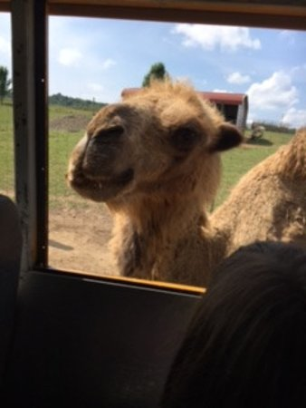 Max Meadows, VA: Two humped camel! not something you see often! he chased the bus a tad!