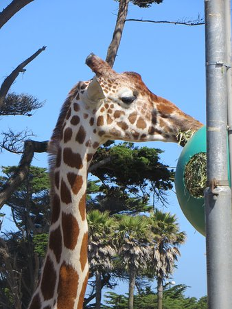 San Francisco Zoo: Girafe très proche des visiteurs