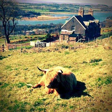 Gavinburn Cottages: Sunbathing Cows!