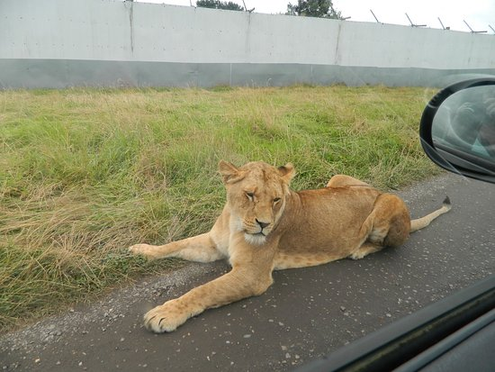 Female Lion roaming free in enclosure - Picture of West