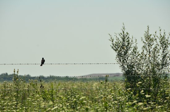 Wilmington, IL: Bird on a wire. Might have been looking for the bison too!