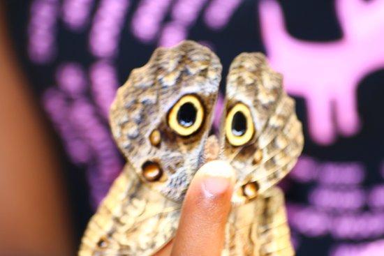 Quartier D'Orleans, St. Maarten: papillon au goût de banane, camouflage hibou