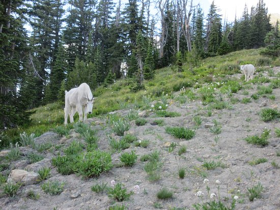 Swan Lake, MT: Goat and kid on ridge