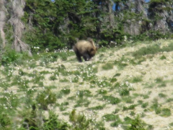 Swan Lake, MT: grizzly on Swan Peak