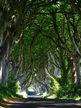 """The Dark Hedges"" in Ballymoney, N. Ireland."
